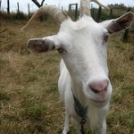 Goat Milk?: For When Cow's Milk Won't Do